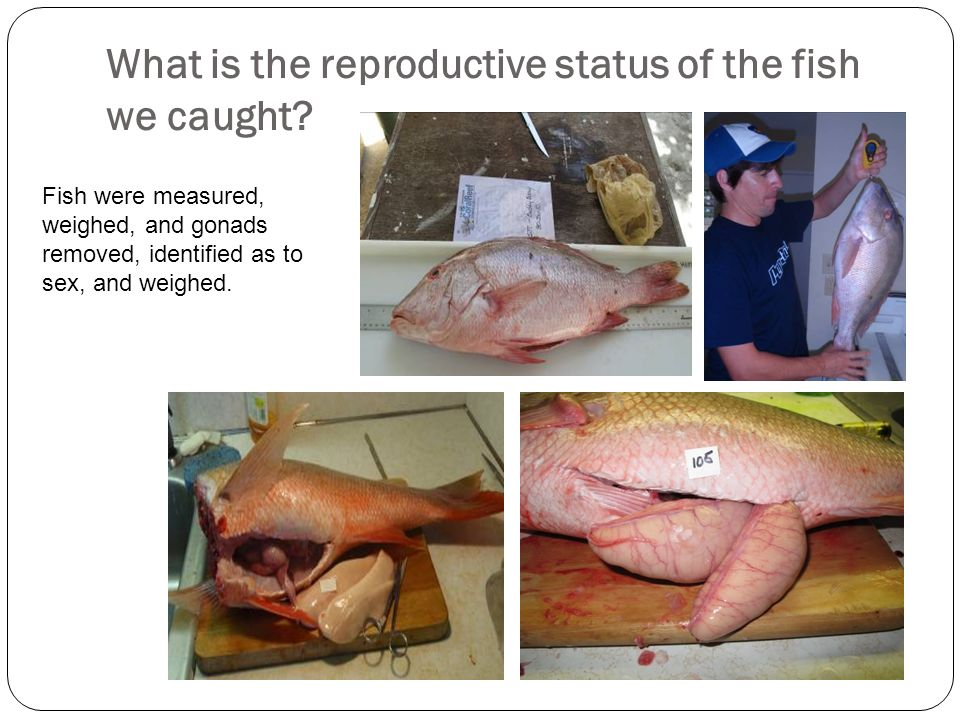 What is the reproductive status of the fish we caught