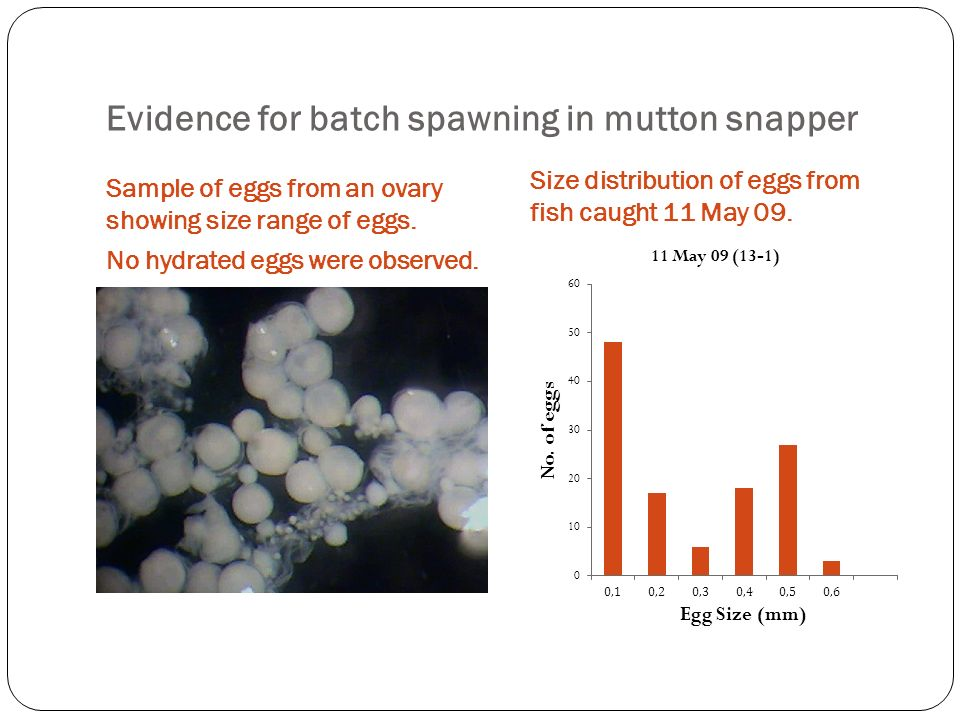 Evidence for batch spawning in mutton snapper