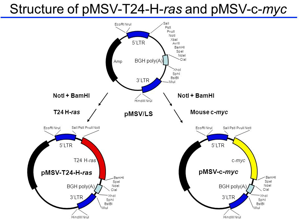 Structure of pMSV-T24-H-ras and pMSV-c-myc