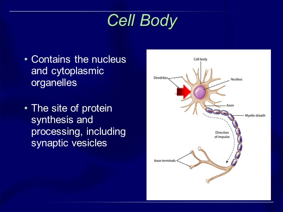 Cell Body Contains the nucleus and cytoplasmic organelles
