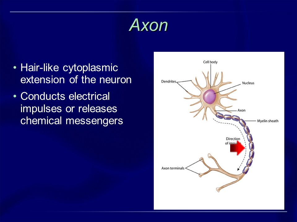 Axon Hair-like cytoplasmic extension of the neuron