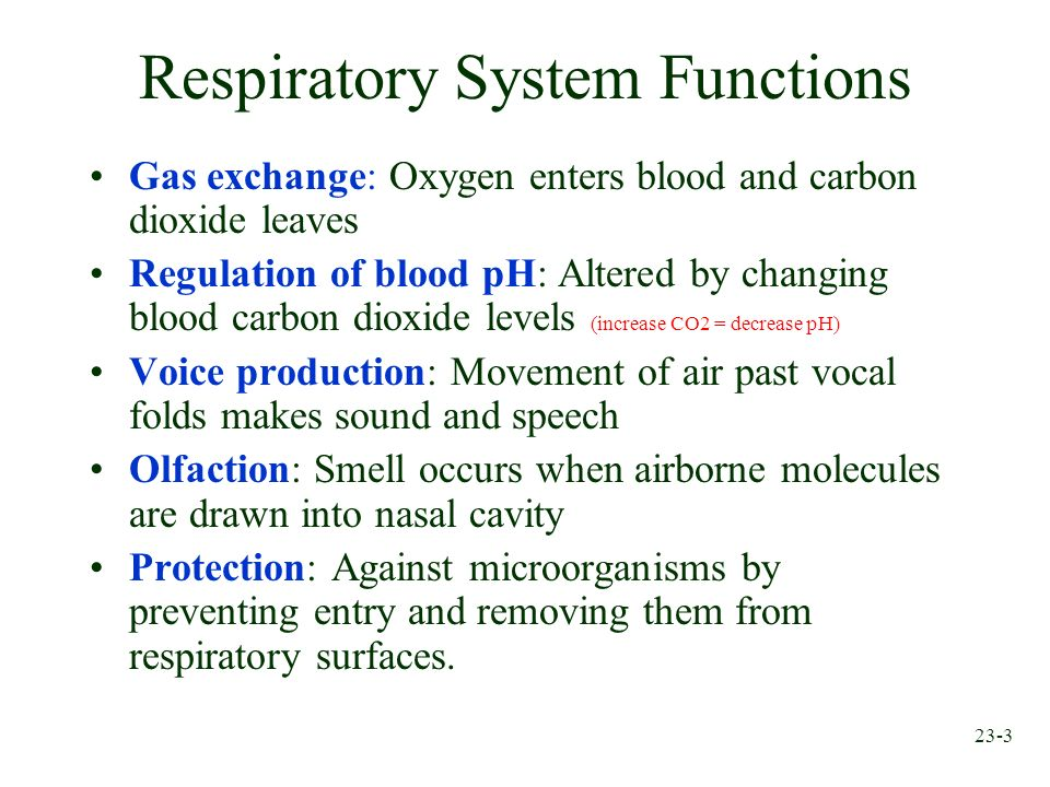 Chapter 23 Respiratory System Ppt Download