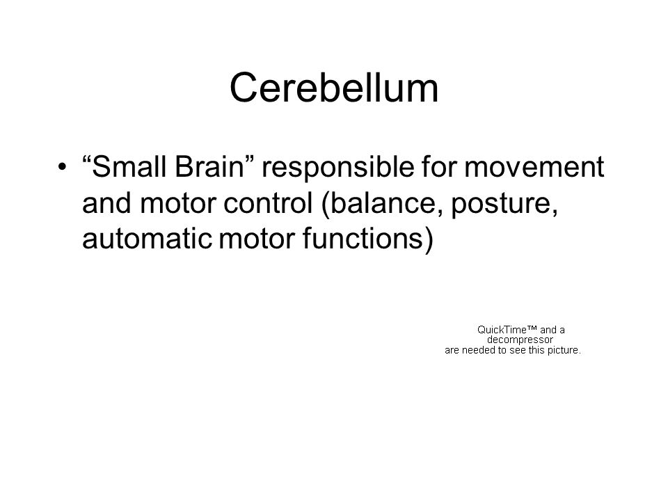 Cerebellum Small Brain responsible for movement and motor control (balance, posture, automatic motor functions)
