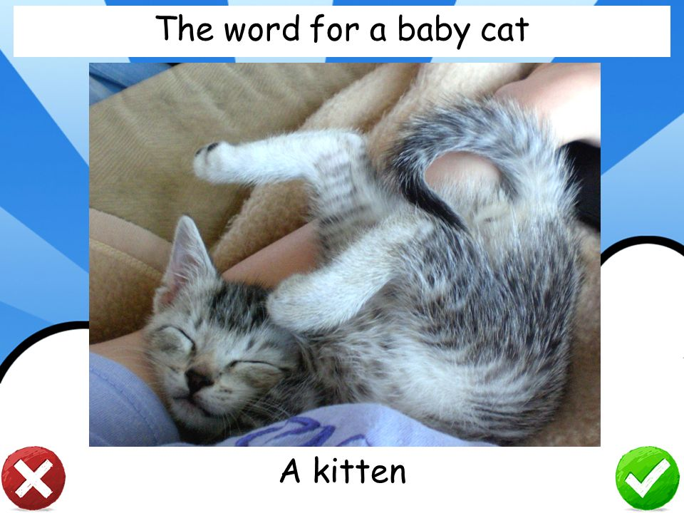 The word for a baby cat A kitten