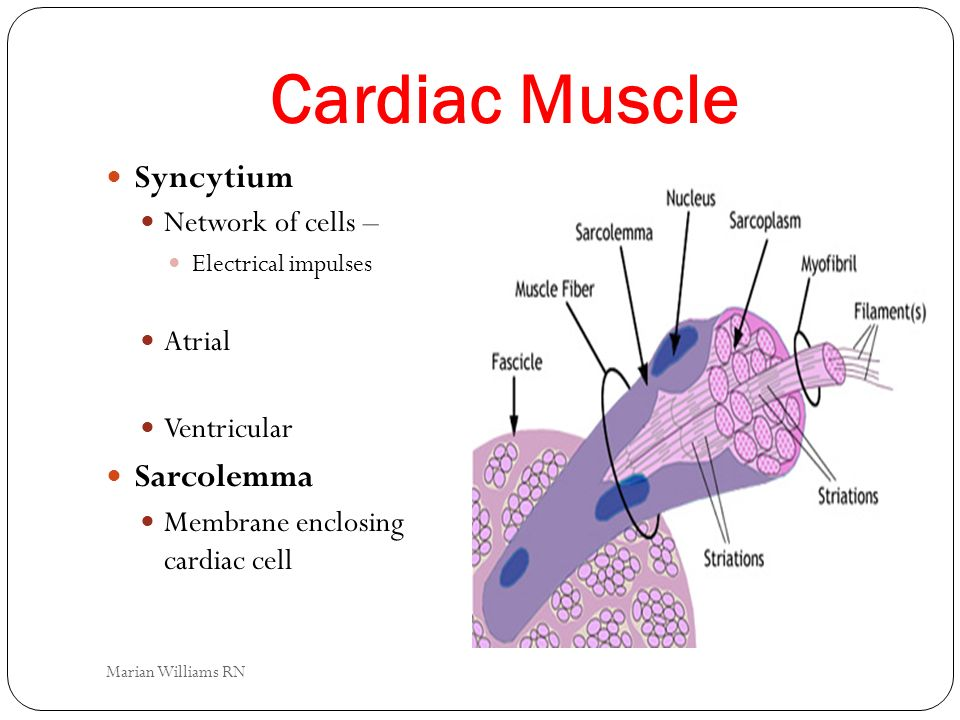 Cardiac Muscle Syncytium Sarcolemma Network of cells – Atrial