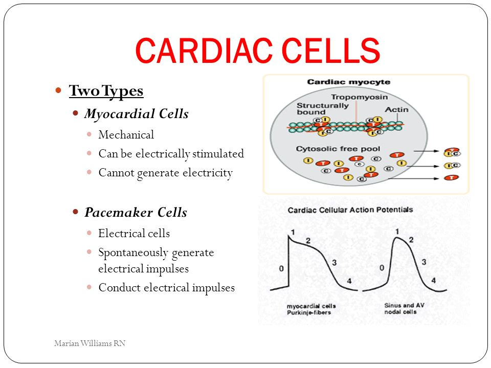 CARDIAC CELLS Two Types Myocardial Cells Pacemaker Cells Mechanical