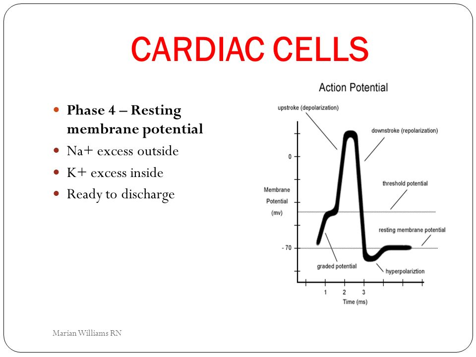 CARDIAC CELLS Phase 4 – Resting membrane potential Na+ excess outside
