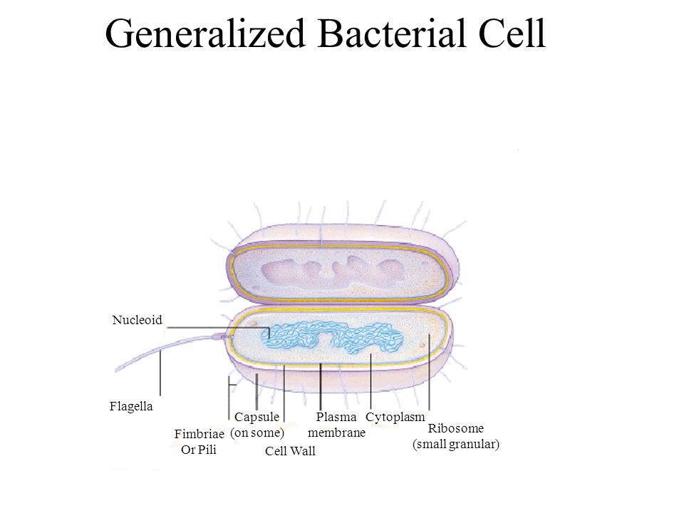 Generalized Bacterial Cell