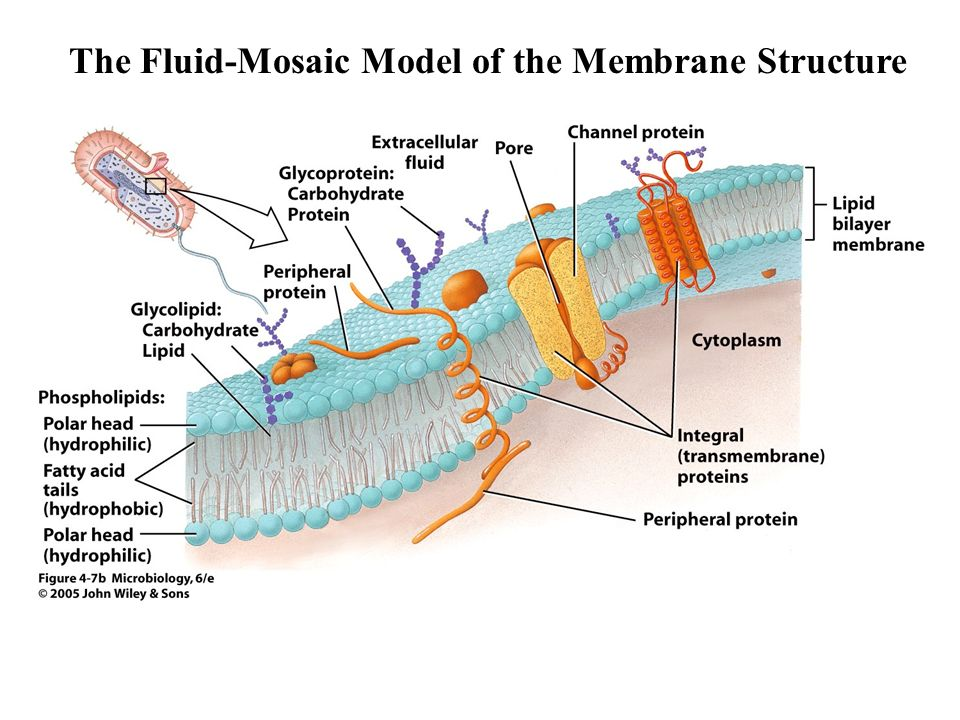 The Fluid-Mosaic Model of the Membrane Structure
