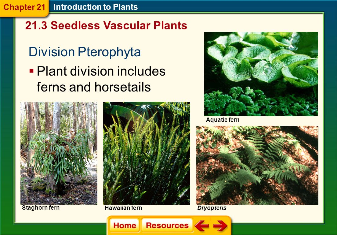 Plant division includes ferns and horsetails