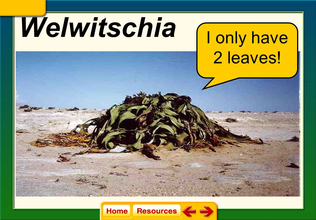 Welwitschia I only have 2 leaves!