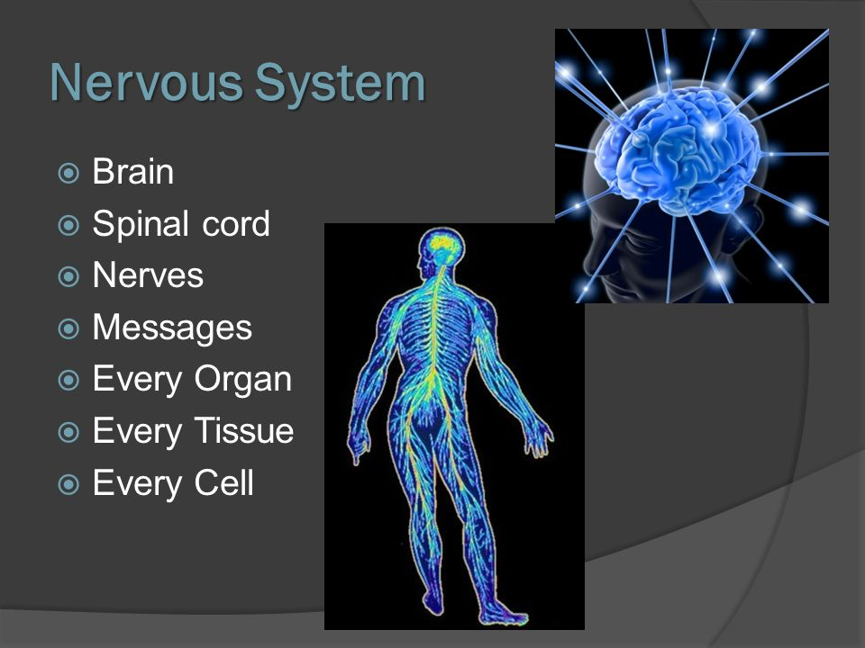 Nervous System Brain Spinal cord Nerves Messages Every Organ