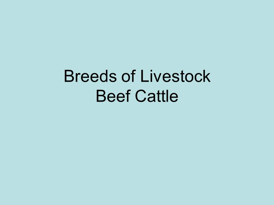Breeds of Livestock Beef Cattle