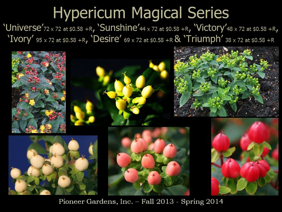 Hypericum Magical Series