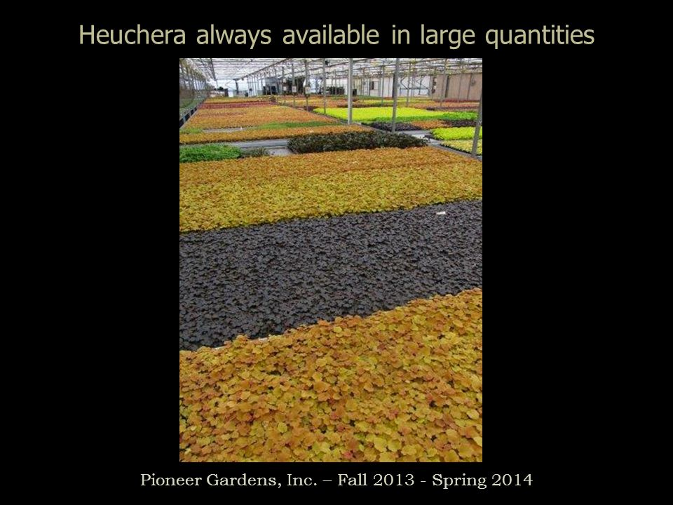 Heuchera always available in large quantities