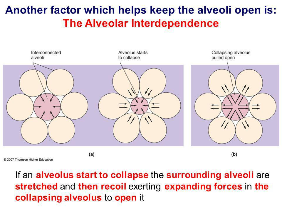 Another factor which helps keep the alveoli open is: The Alveolar Interdependence