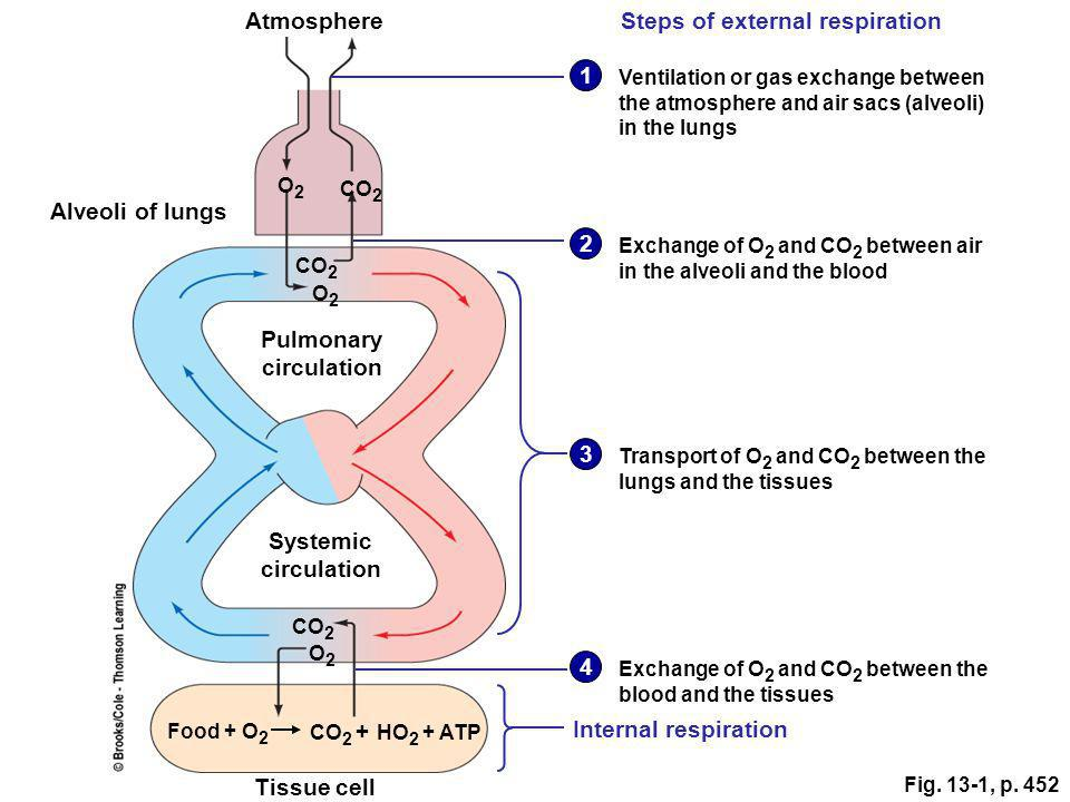Steps of external respiration