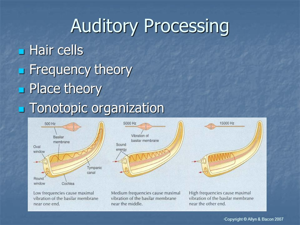 Auditory Processing Hair cells Frequency theory Place theory