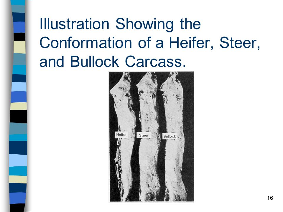 Illustration Showing the Conformation of a Heifer, Steer, and Bullock Carcass.