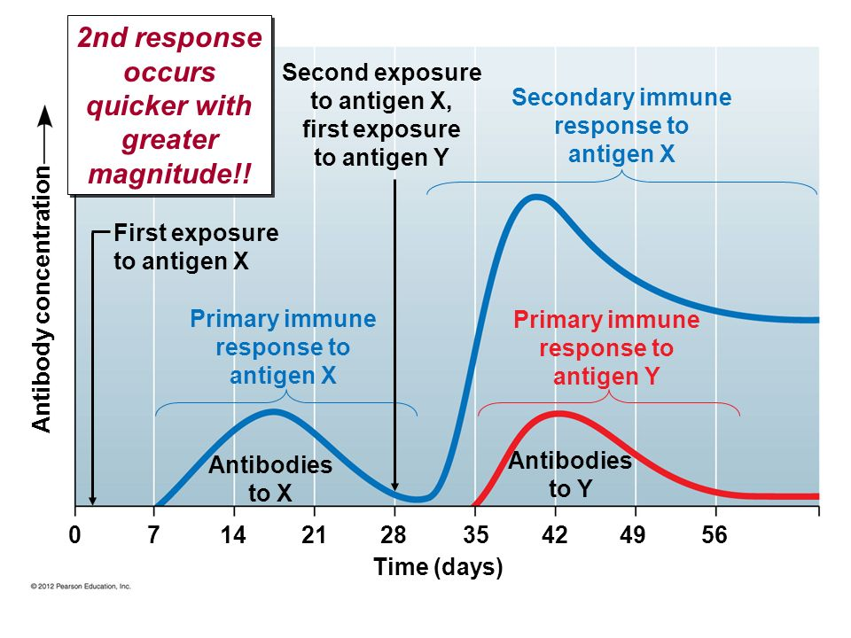 2nd response occurs quicker with greater magnitude!!
