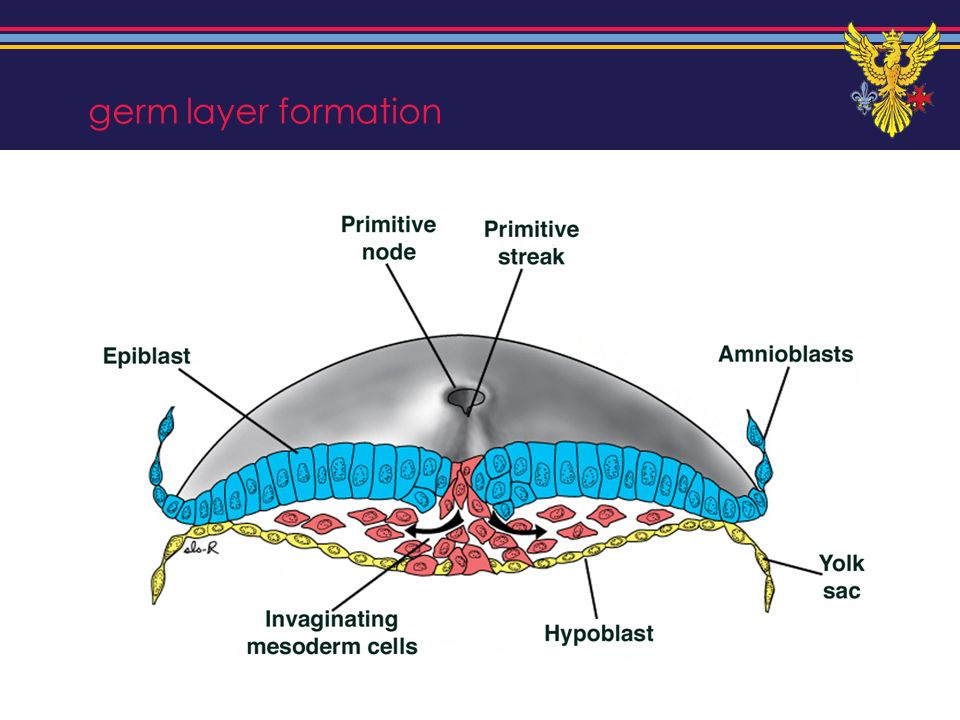 germ layer formation