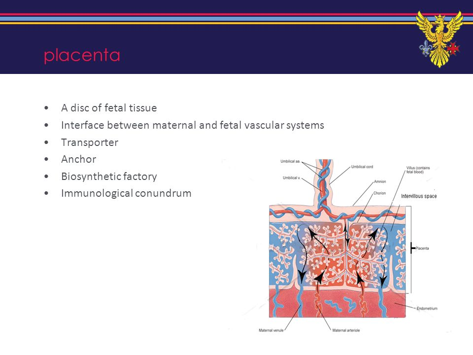 placenta A disc of fetal tissue