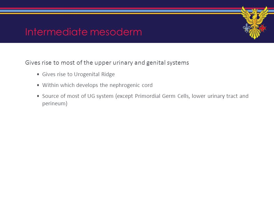 Intermediate mesoderm