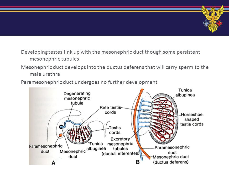 Developing testes link up with the mesonephric duct though some persistent mesonephric tubules Mesonephric duct develops into the ductus deferens that will carry sperm to the male urethra Paramesonephric duct undergoes no further development