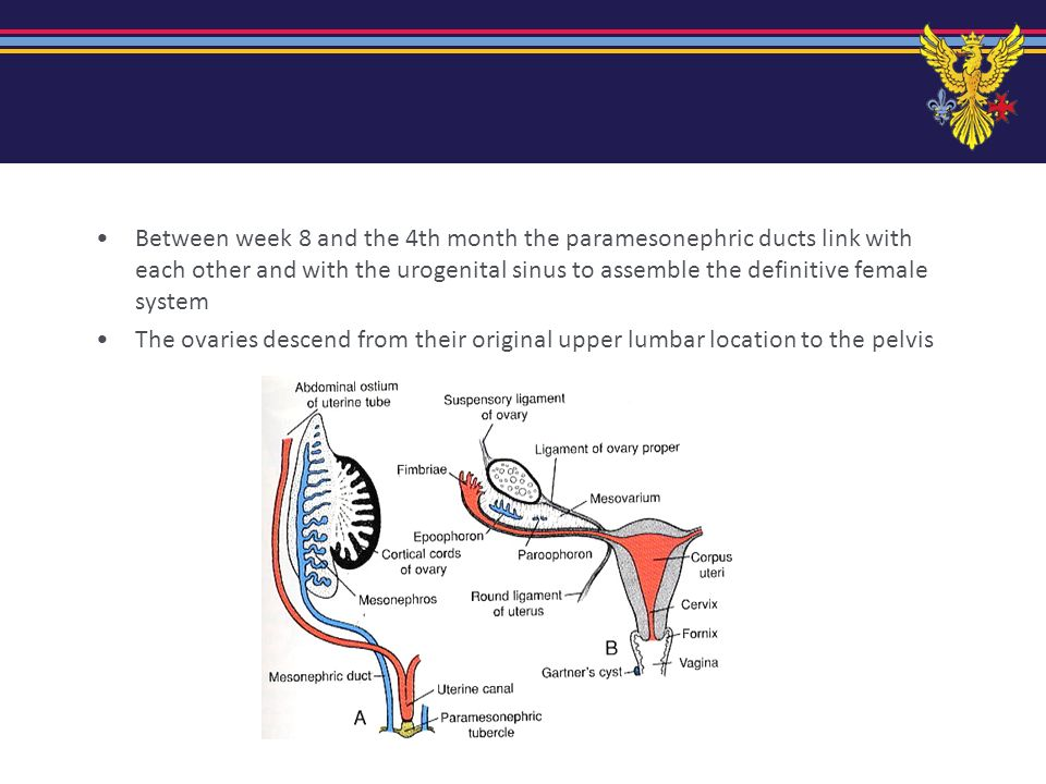 Between week 8 and the 4th month the paramesonephric ducts link with each other and with the urogenital sinus to assemble the definitive female system