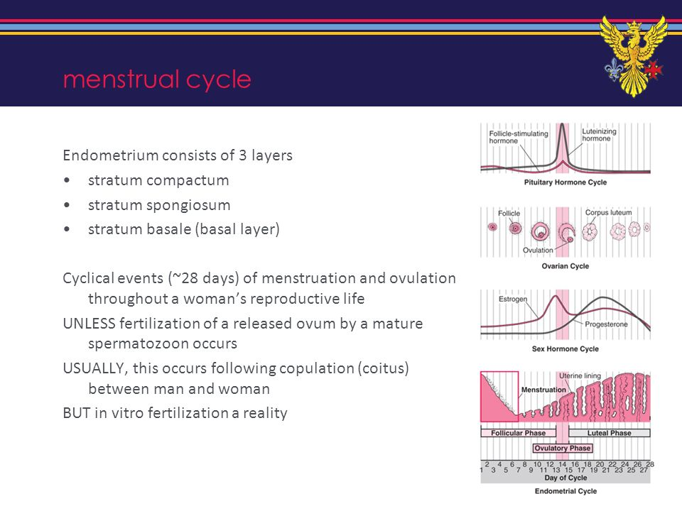 menstrual cycle Endometrium consists of 3 layers stratum compactum