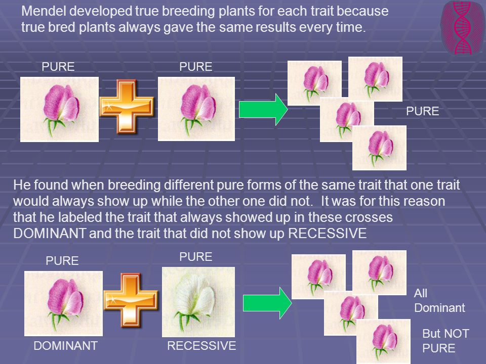 Mendel developed true breeding plants for each trait because true bred plants always gave the same results every time.