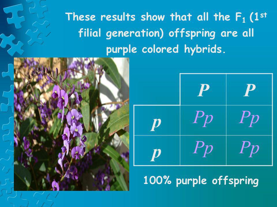 These results show that all the F1 (1st filial generation) offspring are all purple colored hybrids.