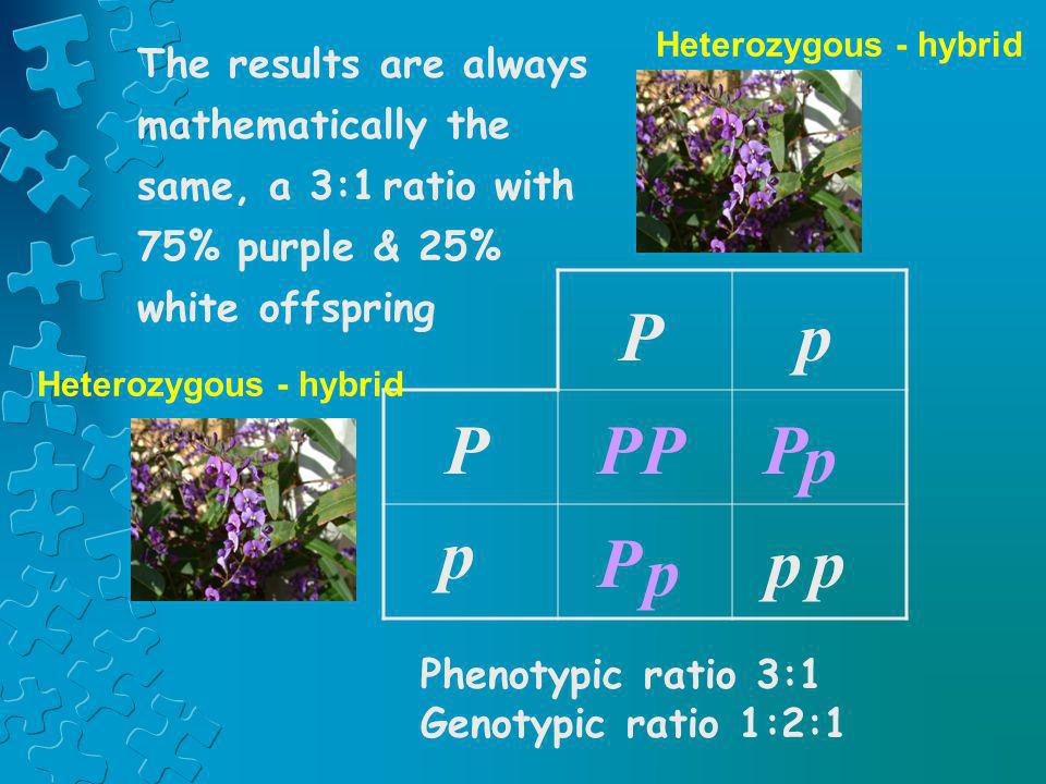 Heterozygous - hybrid The results are always mathematically the same, a 3:1 ratio with 75% purple & 25% white offspring.