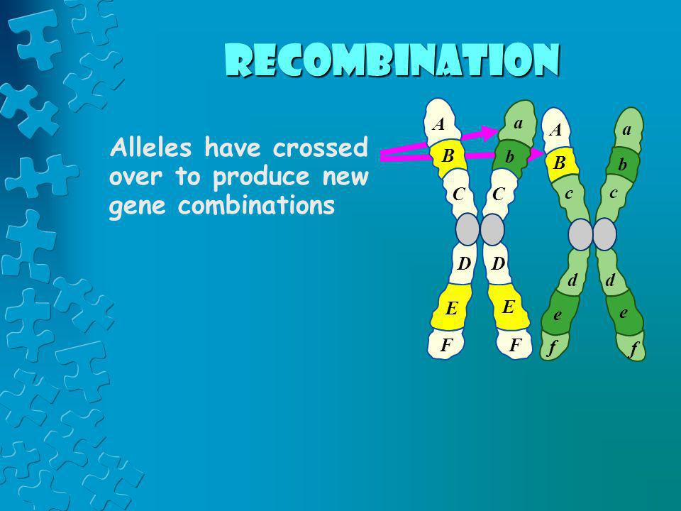 recombination A. a. A. a. Alleles have crossed over to produce new gene combinations. B. b. B.