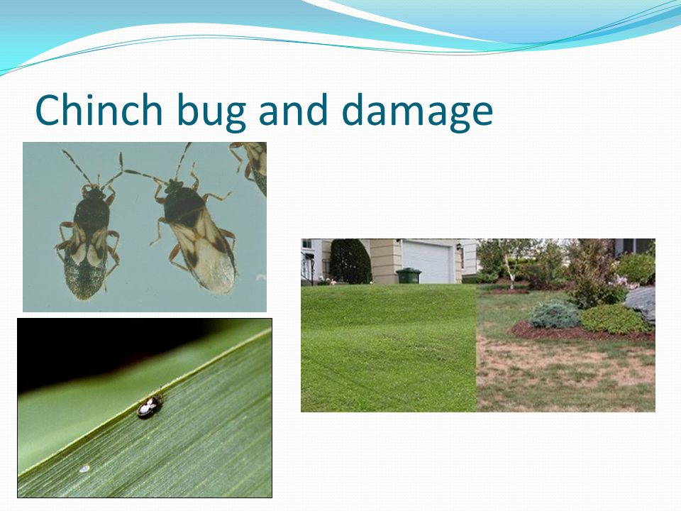 Chinch bug and damage