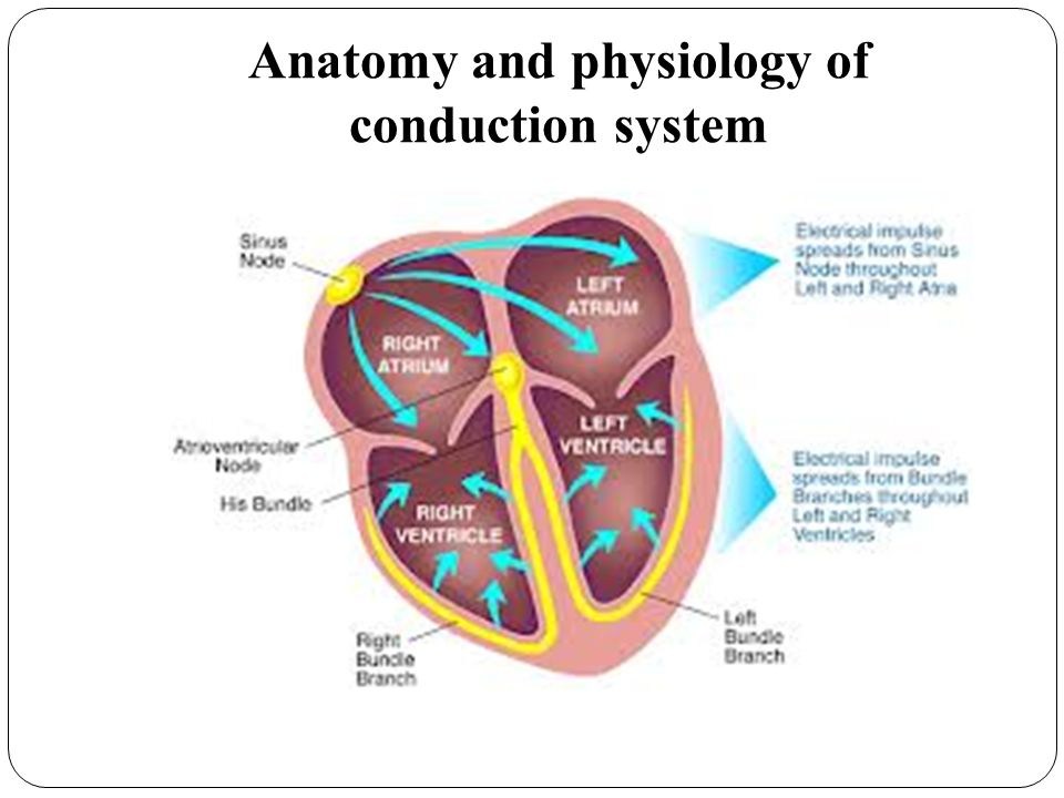 Anatomy and physiology of conduction system