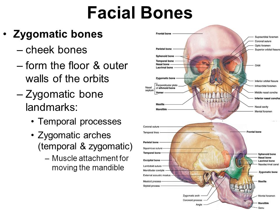Facial Bones Zygomatic bones cheek bones