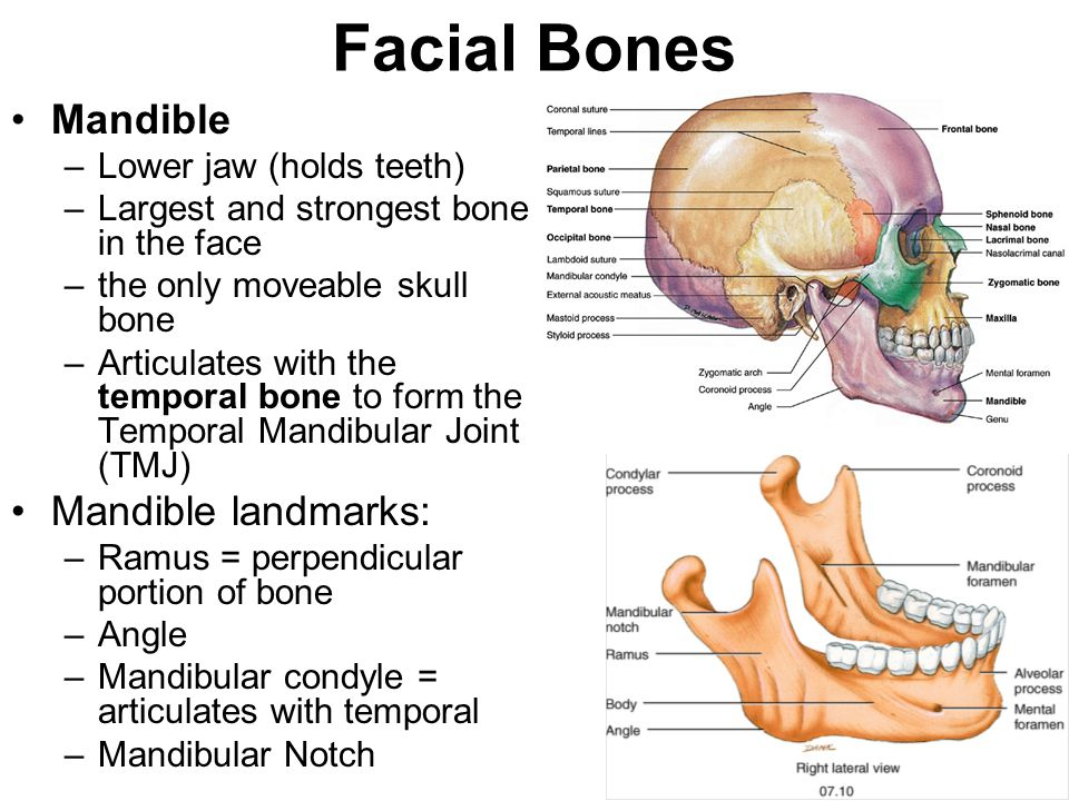 Facial Bones Mandible Mandible landmarks: Lower jaw (holds teeth)