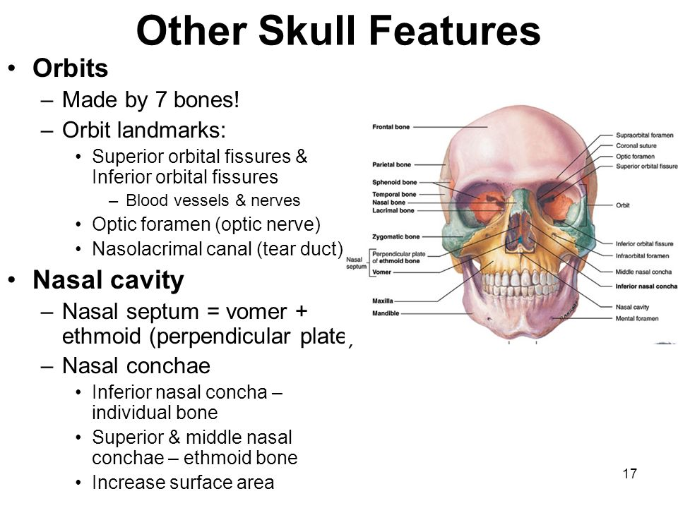 Other Skull Features Orbits Nasal cavity Made by 7 bones!