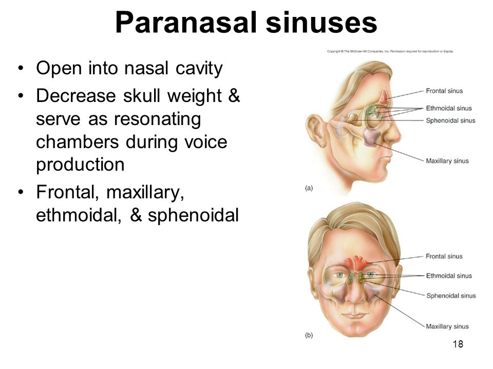 Paranasal sinuses Open into nasal cavity