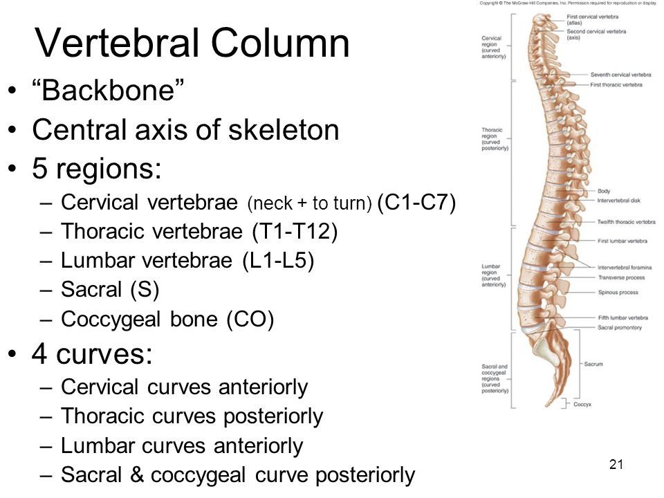 Vertebral Column Backbone Central axis of skeleton 5 regions: