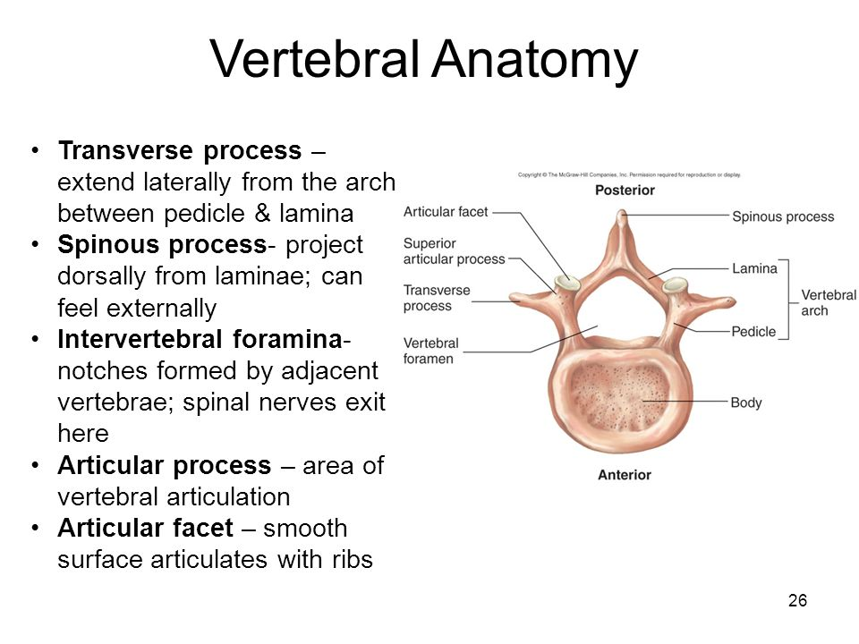 Vertebral Anatomy Transverse process – extend laterally from the arch between pedicle & lamina.