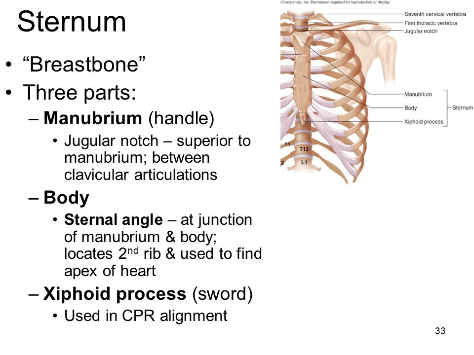 Sternum Breastbone Three parts: Manubrium (handle) Body