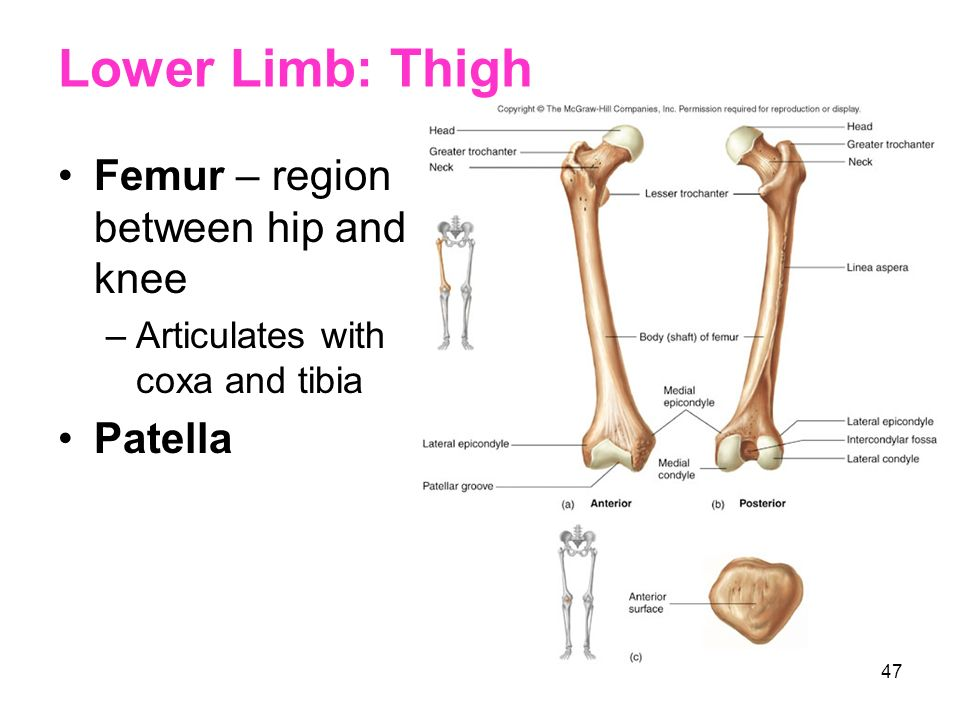 Lower Limb: Thigh Femur – region between hip and knee Patella