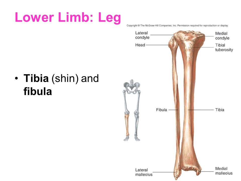 Lower Limb: Leg Tibia (shin) and fibula