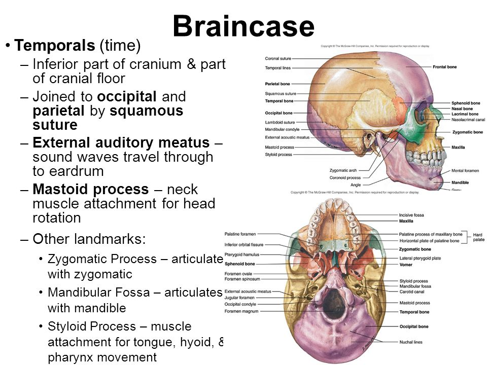 Braincase Temporals (time)