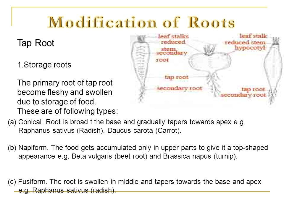 Modification of Roots Tap Root Storage roots