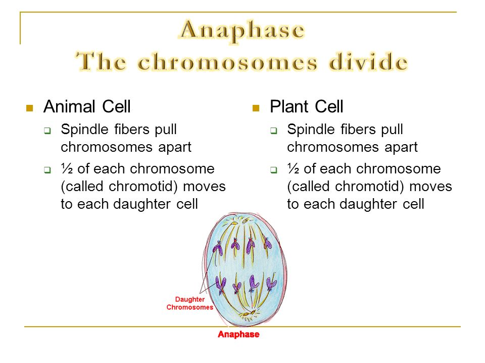 Anaphase The chromosomes divide