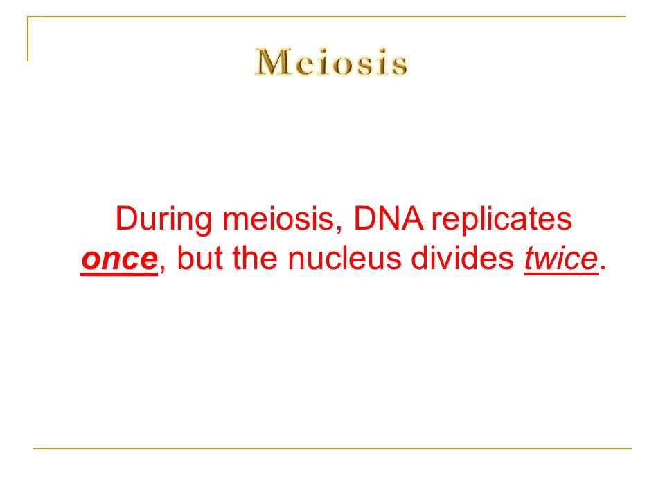 During meiosis, DNA replicates once, but the nucleus divides twice.