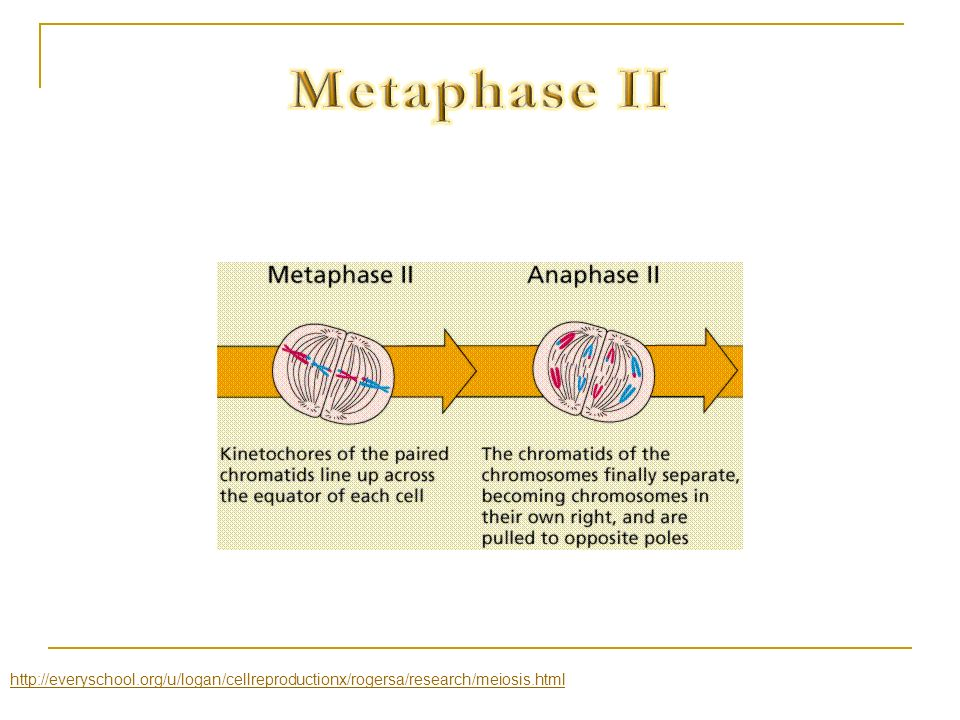 Metaphase II